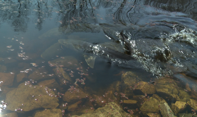 sturgeon near surface