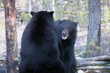Black Bear Biology