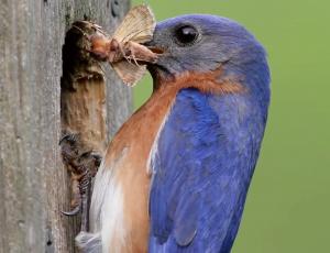 bluebird cu