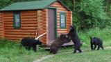 Managing Black Bears