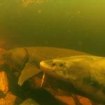 sturgeon under water