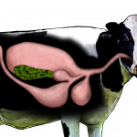 cow stomach image