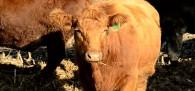 Beef Farming & Consumption