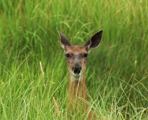 wt deer