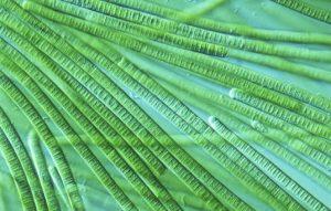 cyanobacteria-ed01