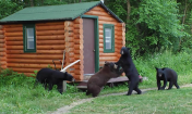 Managing Black Bears