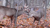 Managing White-Tailed Deer